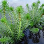 upright-water-milfoil